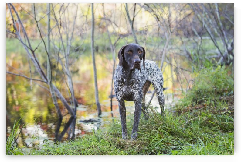 Female German Shorthair Pointer in early autumn vegetation; Canterbury, Connecticut, United States of America by PacificStock