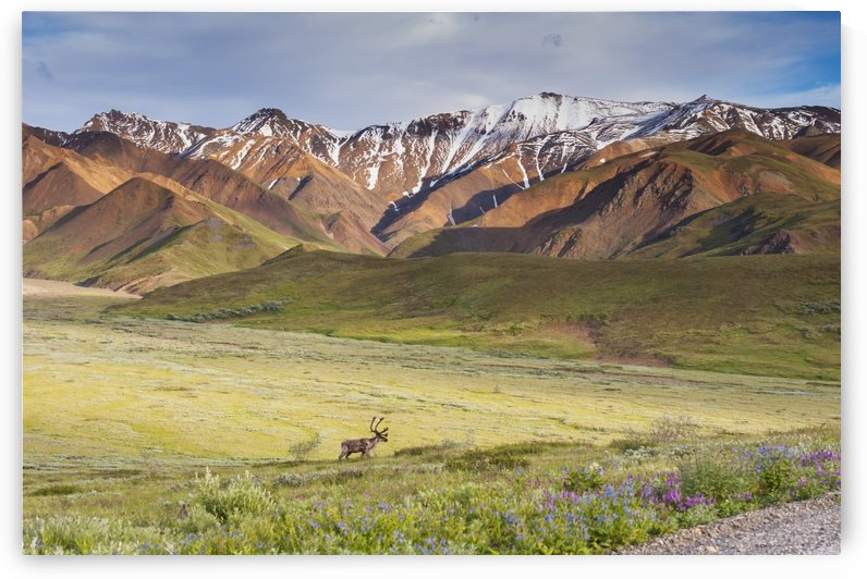 A bull caribou approaching the Park Road near Highway Pass in Denali National Park, Interior Alaska by PacificStock