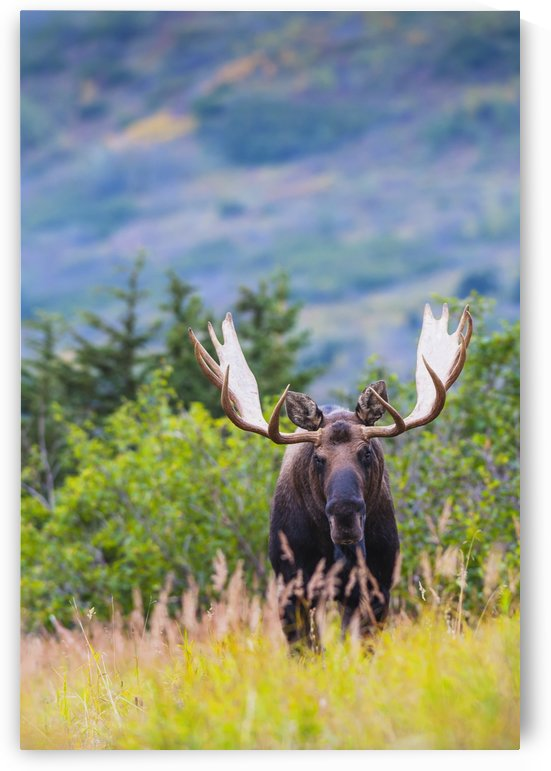 Large bull moose standing in brush near Powerline Pass in the Chugach State Park, near Anchorage, Southcentral Alaska by PacificStock
