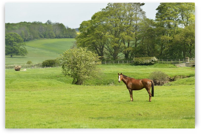 Horse in field; Morpeth, Northumberland, England by PacificStock