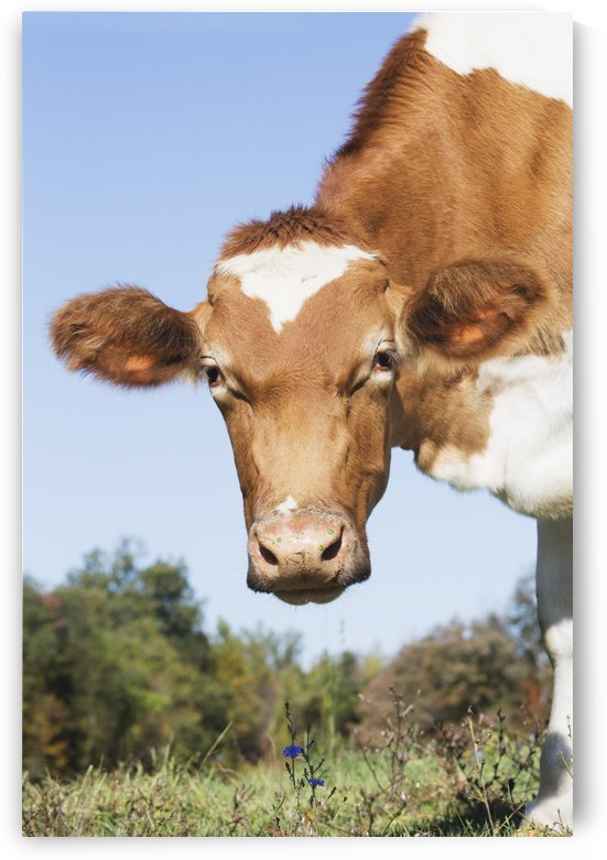 Guernsey dairy cow; Granby, Connecticut, United States of America by PacificStock