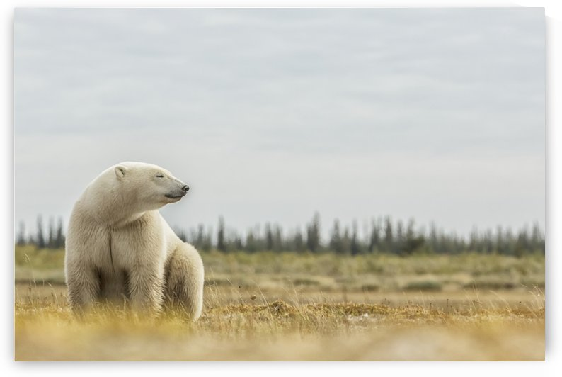 Polar bear sitting by the coast of Hudson Bay; Manitoba, Canada by PacificStock