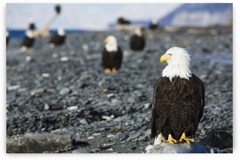Bald Eagles standing on the shore of Kachemak Bay on the Homer Spit, Kenai Peninsula, Southcentral Alaska by PacificStock