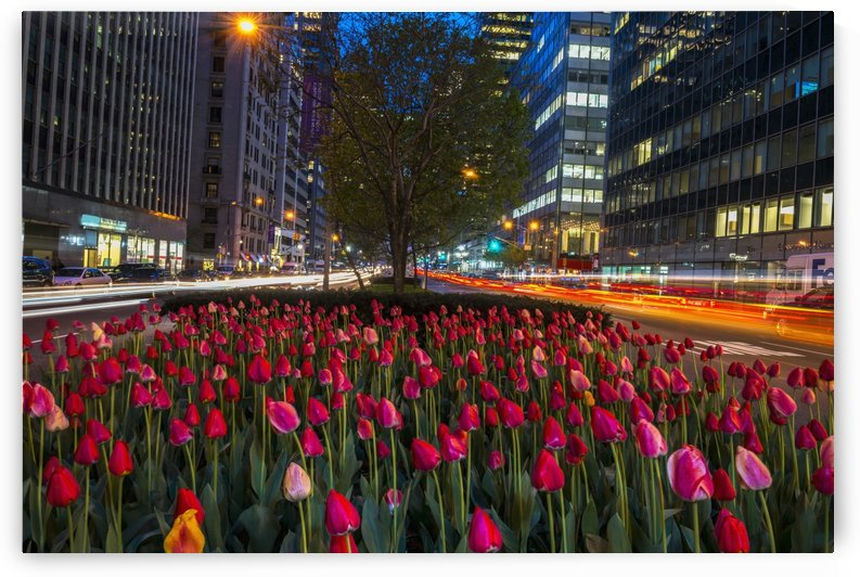 Tulip display on Park Avenue; New York City, New York, United States of America by PacificStock