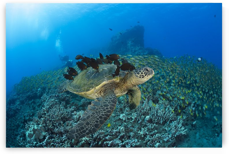 A green sea turtleC (Chelonia mydas) with surgeonfish cleaning it's shell and a huge school of blue striped snapper with divers in the background; Hawaii, United States of America by PacificStock