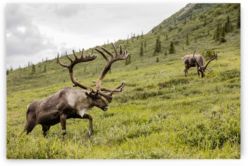 Caribou (Rangifer tarandus) forage along Savage River in Denali National Park in Interior Alaska, Summer. by PacificStock
