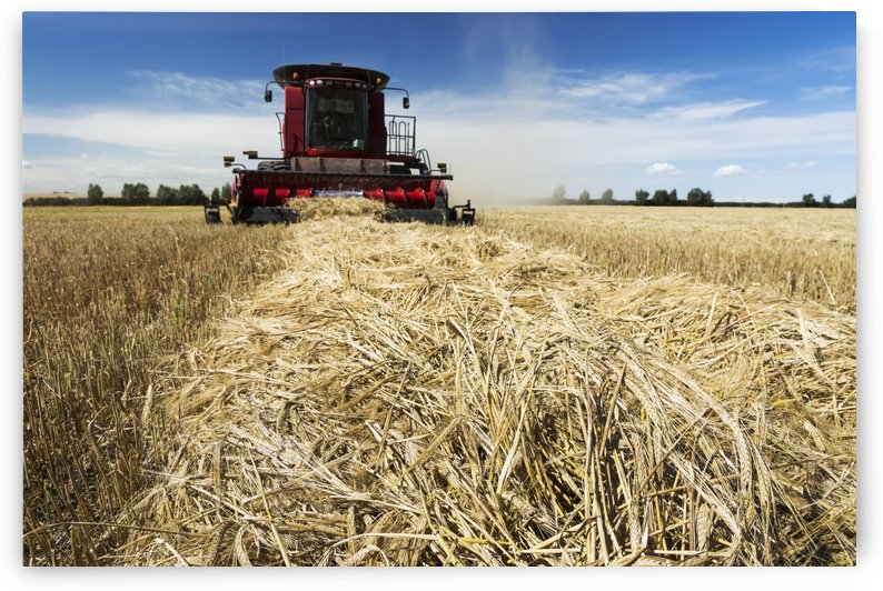 Combine harvesting a row of cut barley with blue sky and clouds; Acme, Alberta, Canada by PacificStock