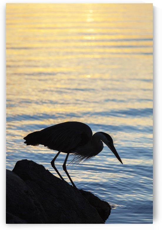 Blue heron by Balsam Lake at sunrise; Ontario, Canada by PacificStock