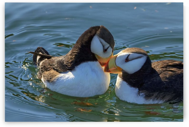 Close up of a pair of Horned Puffins being affectionate, Kodiak, Southwest Alaska by PacificStock