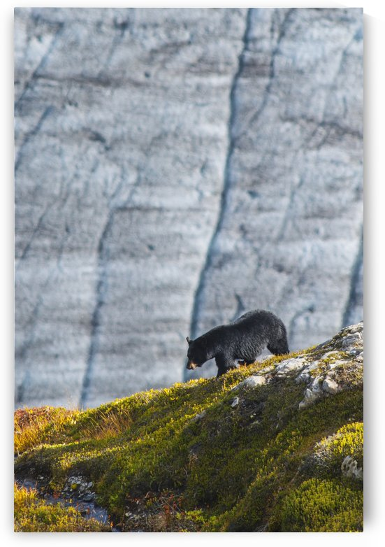 A Black bear with Exit Glacier in the background on a sunny summer day in Kenai Fjords National Park, Kenai Peninsula, Southcentral Alaska. by PacificStock