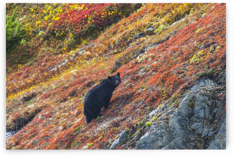 Black bear (Urus Americanus) standing on a colorful autumn hillside, Kenai Fjords National Park, Southcentral Alaska by PacificStock