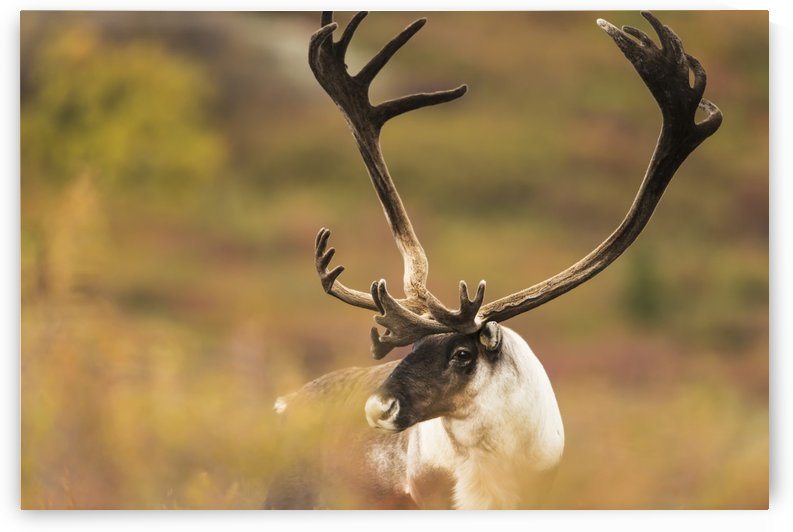 Bull caribou near Savage River in Denali National Park & Preserve, Alaska. by PacificStock