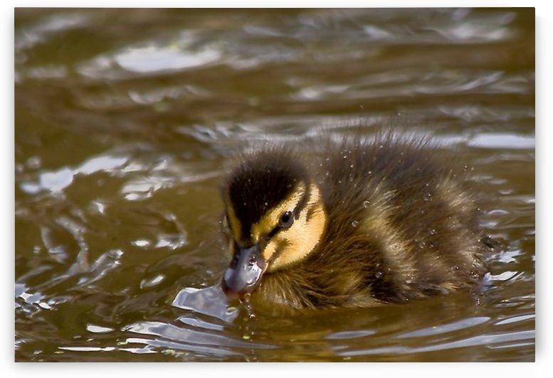 Mallard chick by Tede