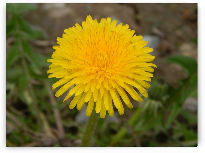 Taraxacum in Spring  by Jarrod Sammis