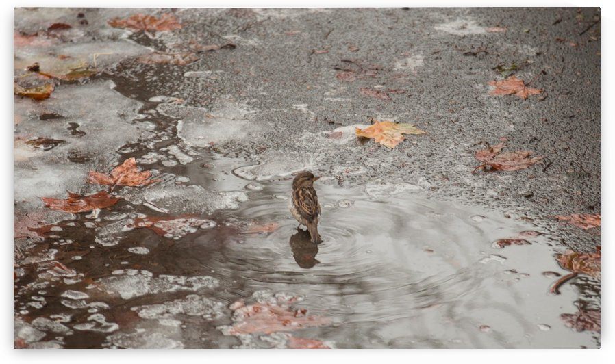 A Sparrows Icy Puddle by Catch Dreamer
