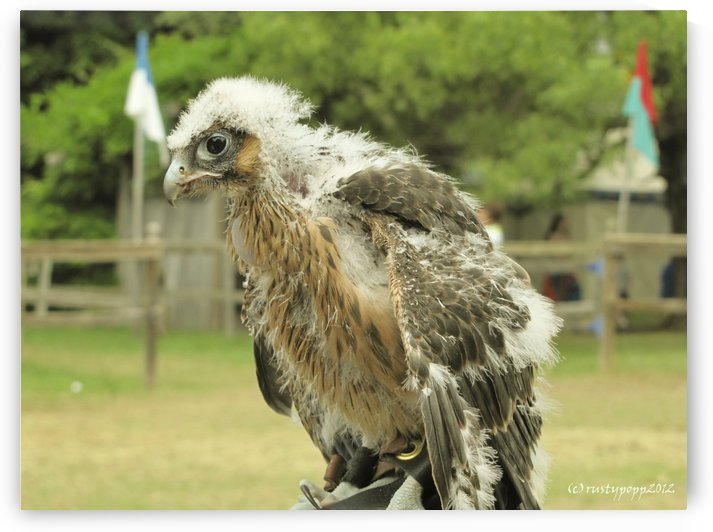 baby hawk1 by Jackie Popp