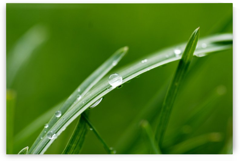 Morning Dew by Christopher Dormoy
