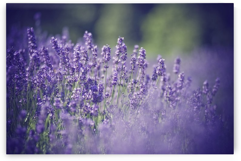 Lavender Flowers by Christopher Dormoy