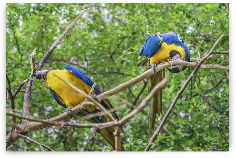 South American Couple of Parrots Print by Daniel Ferreia Leites Ciccarino