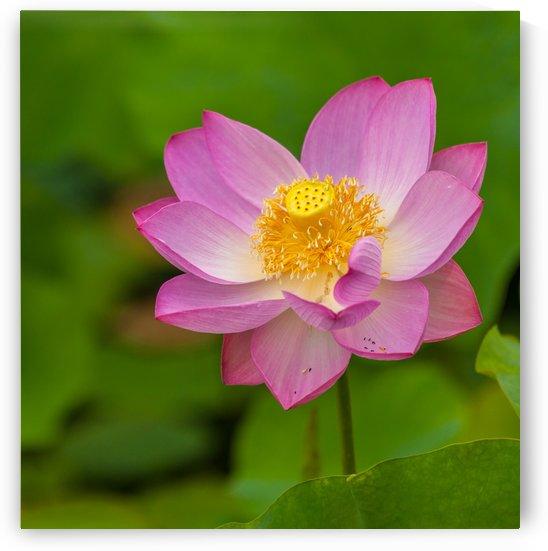 Morning Lotus by Michel Nadeau
