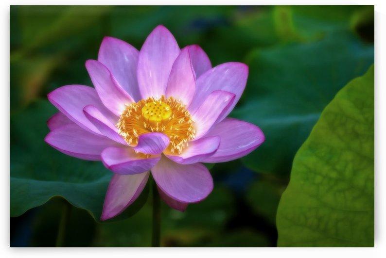 Lotus Charm by Michel Nadeau