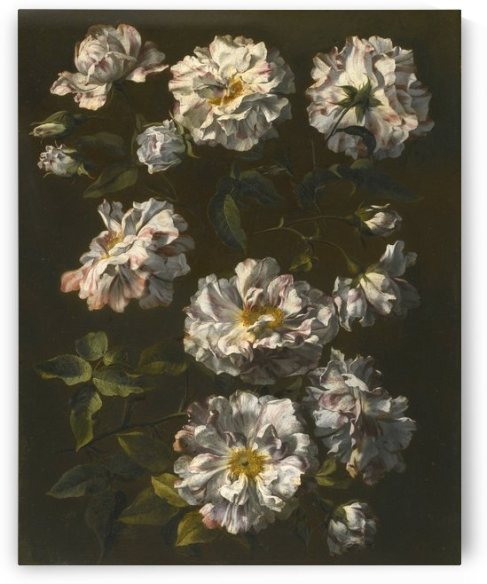 A study of striped white gallica roses by Jean Baptiste Monnoyer