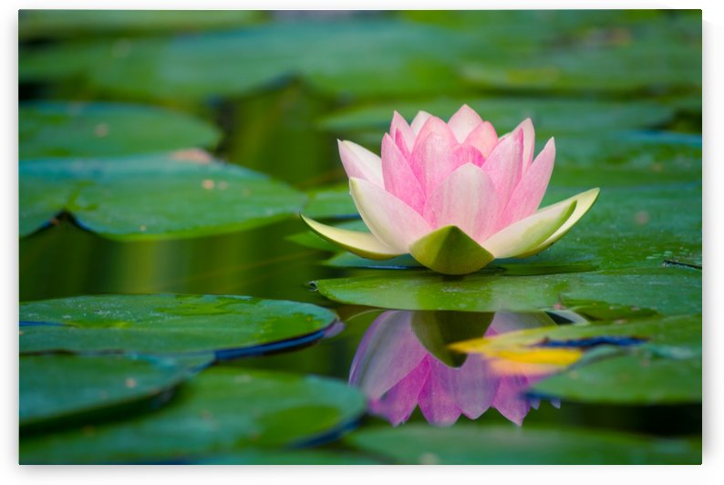 Water lily by Levente Bodo