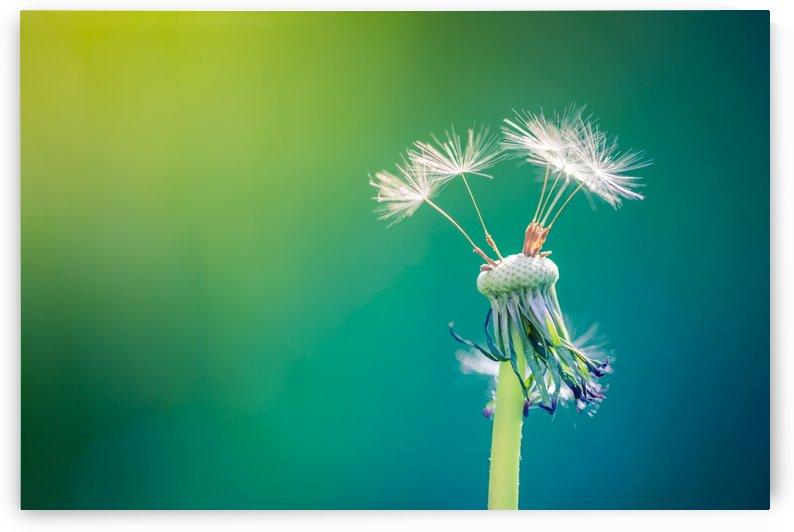 Dandelion by Levente Bodo