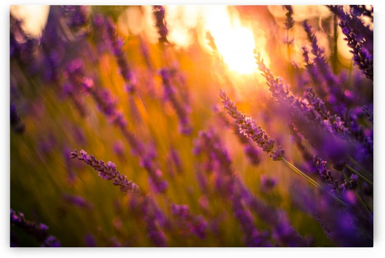 Sunset lavender flowers by Levente Bodo