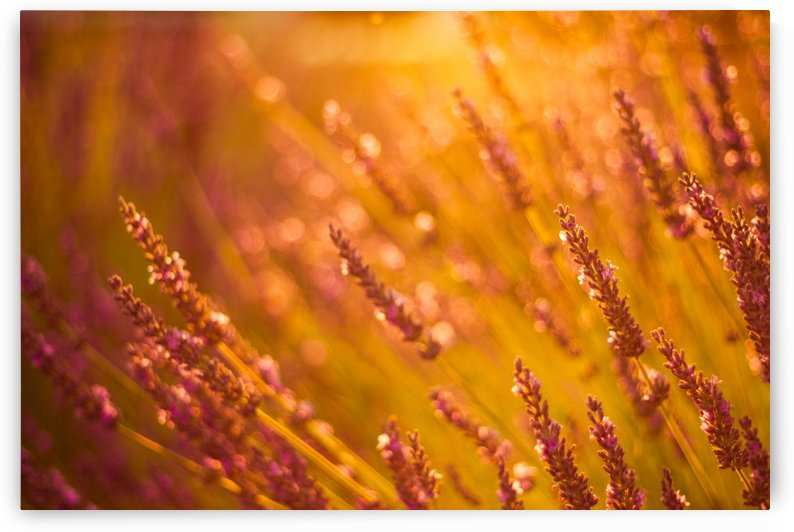 Sunset lavender flowers by Levente Bodo