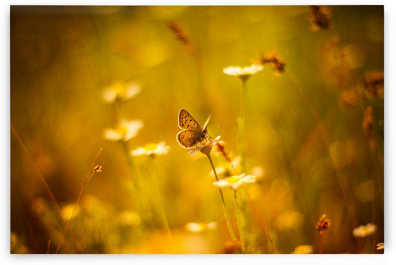 Golden sunset. Daisy and butterfly by Levente Bodo