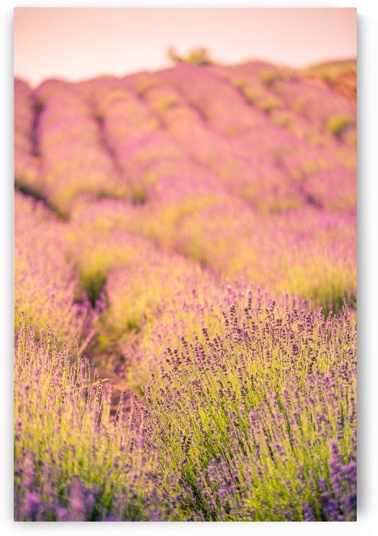 Beautiful Sunset lavender flowers on a field by Levente Bodo