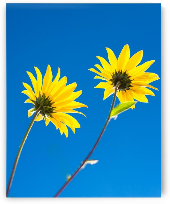 Yellow flowers and blue sky by Levente Bodo