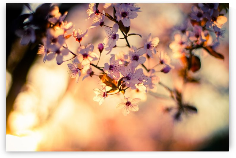 Beautiful Spring cherry flowers by Levente Bodo