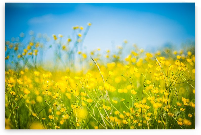 Summer flowers, yellow and blue by Levente Bodo