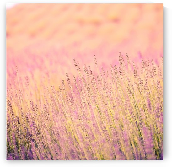 Sunset lavender flowers, instagram effect by Levente Bodo