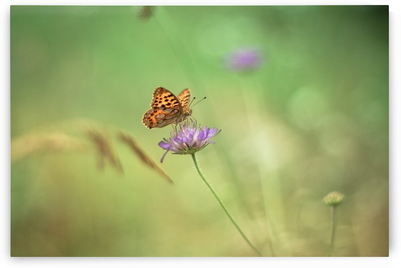 Butterfly summer background, Daisy field by Levente Bodo