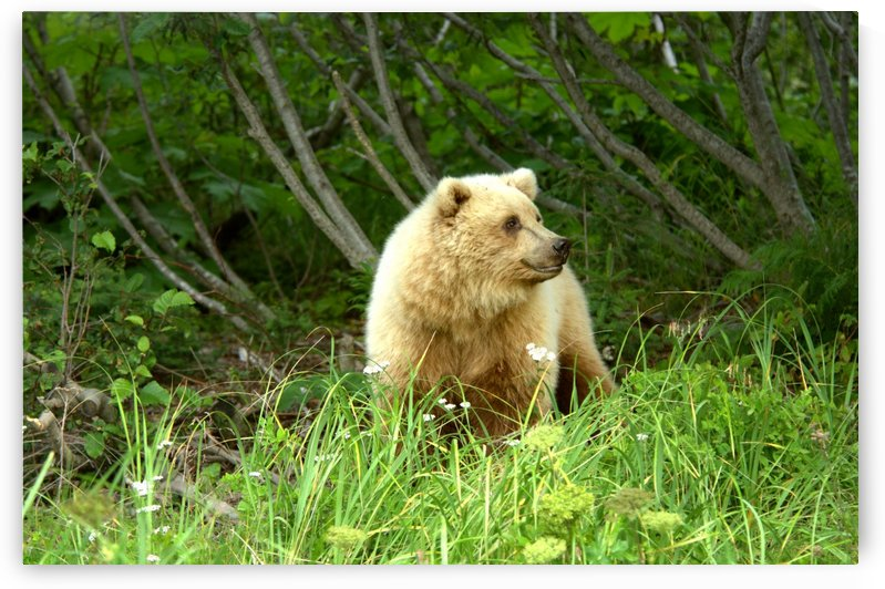 Two Year Old Grizzly by Dennis Blum