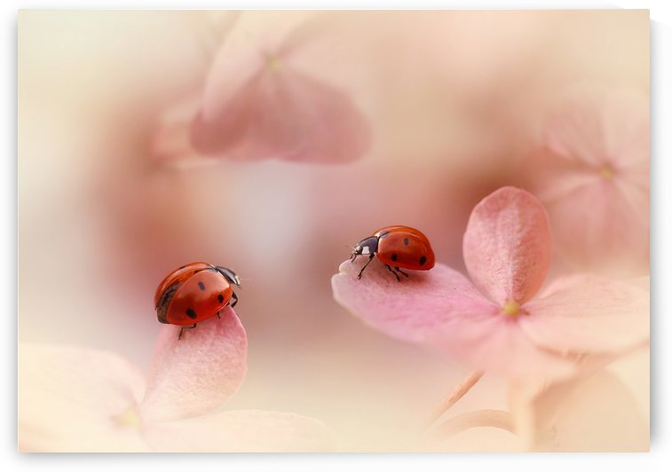 Ladybirds on pink hydrangea. by 1x