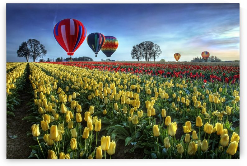 Hot air balloons over tulip field by 1x