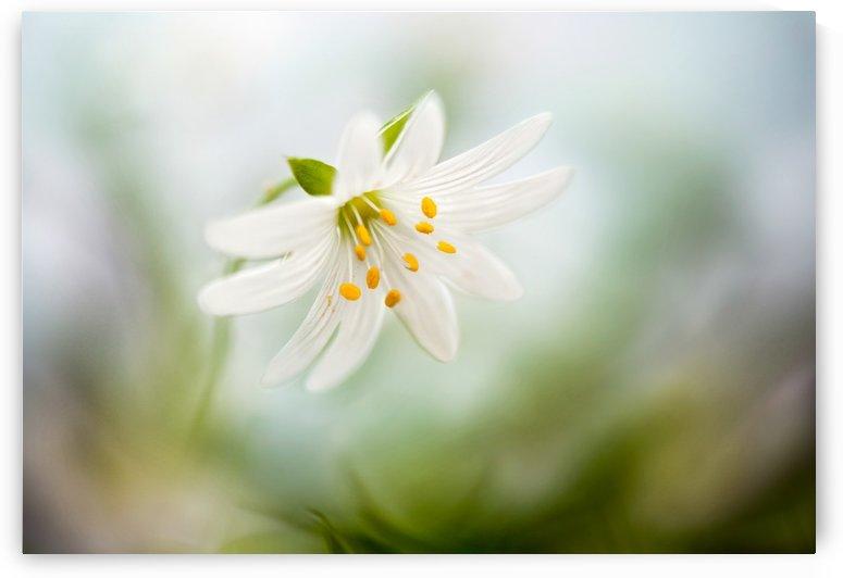 Spring Stitchwort by 1x