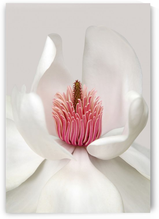 Magnolia by 1x