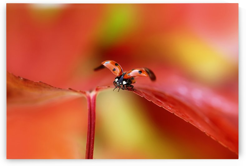 Ladybird in autumn by 1x