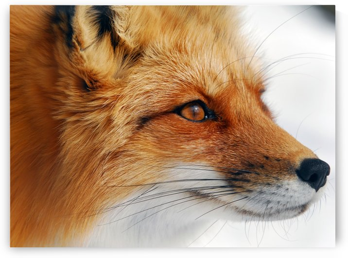 Red Fox by 1x