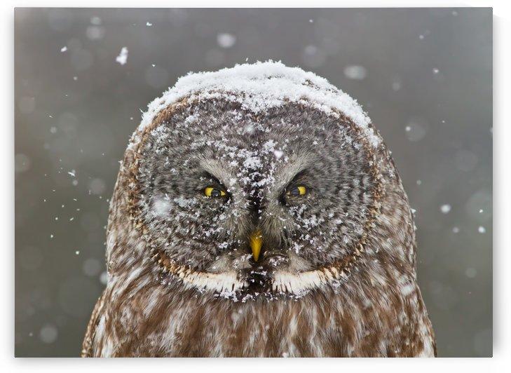 Great Grey Owl Winter Portrait by 1x