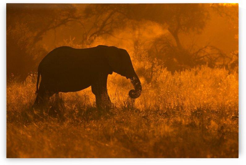Golden Elephant in Savute by 1x