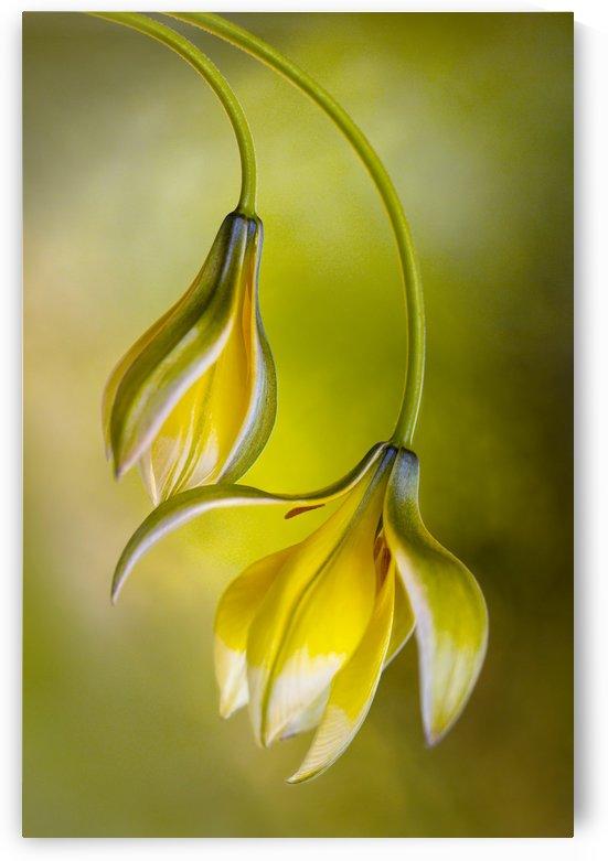 Tulipa by 1x