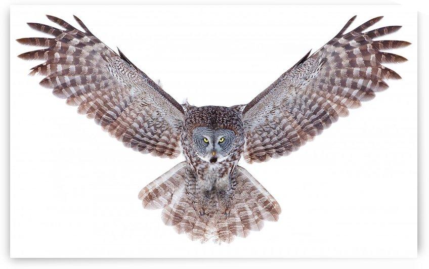 Power - Great Grey Owl by 1x