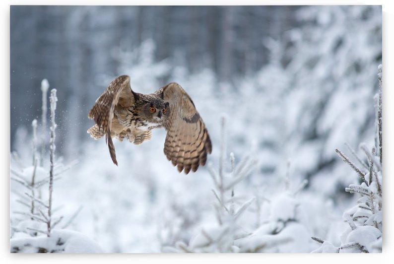 Eurasian eagle-owl by 1x