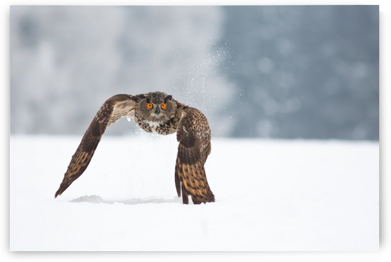 Eurasian eagle-owl by 1x